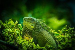 Фото бесплатно Игуана, Green Iguana, Iguane