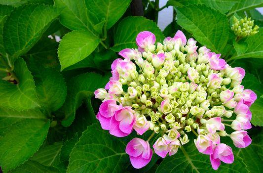 Бесплатные фото красивый цветок,цвести,сад,гортензия,природа,розовый,растение