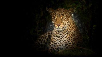 Заставки леопард, большие кошки, дикая природа