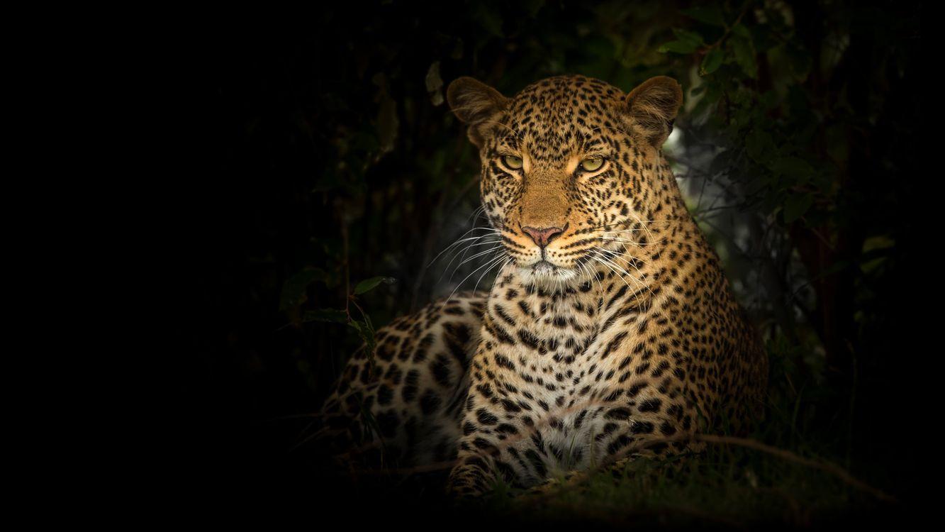 Фото бесплатно леопард, большие кошки, дикая природа - на рабочий стол