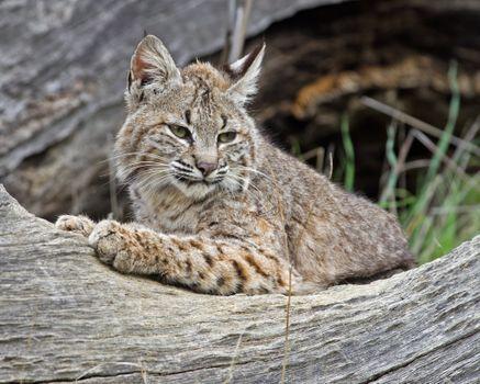 Photo free predator, lynx, cats