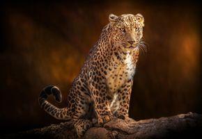 Леопард на поваленном дереве