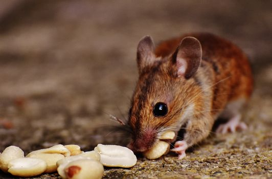 Photo free mouse, nuts, food