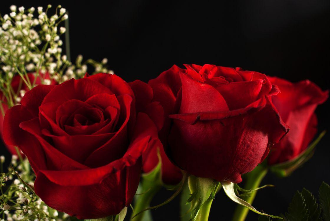 Три красный розы · бесплатное фото