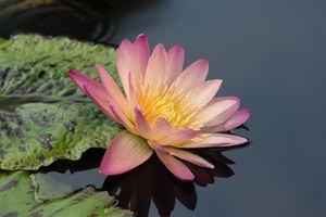 Фото бесплатно кувшинки, природа, листья
