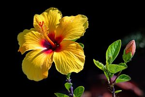Фото бесплатно Гибискус, цветок, чёрный фон, флора