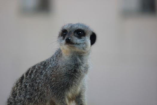 Photo free Meerkat, scared, meerkat