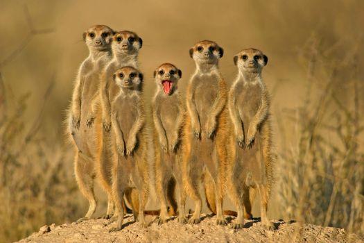 Бесплатные фото Meerkat,сурикаты,Kgalagadi Transfrontier Park