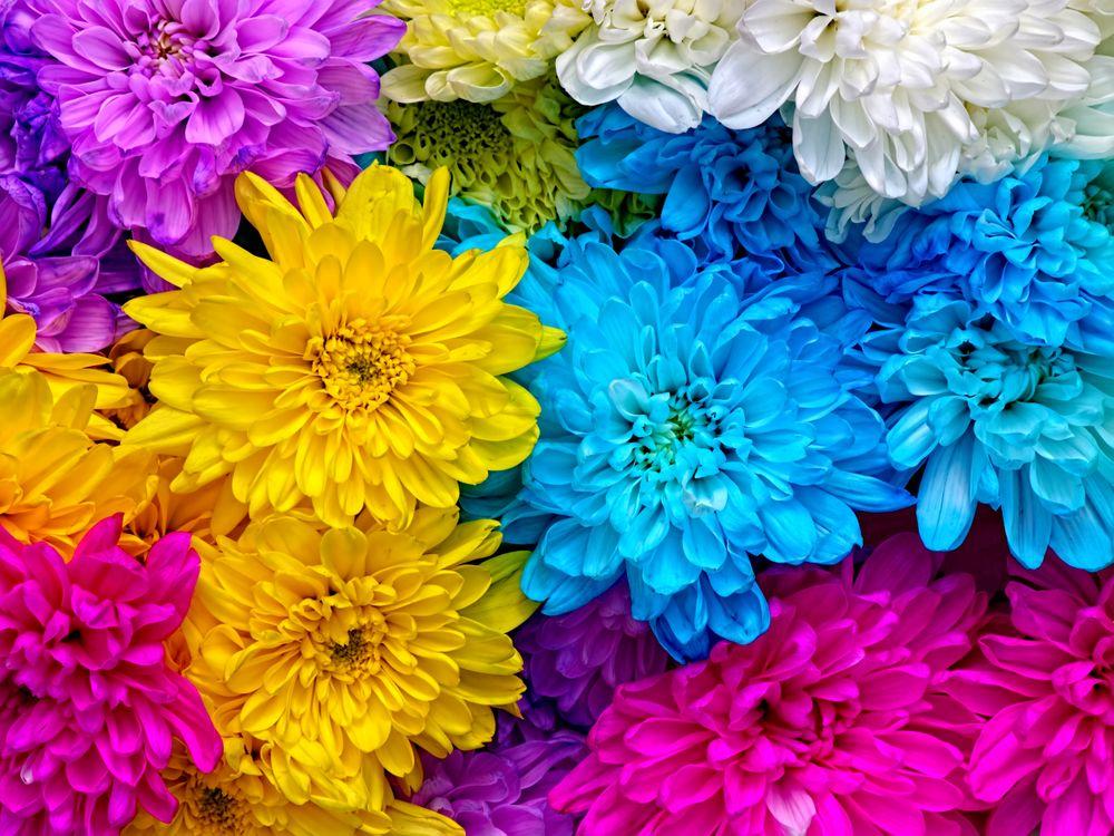 Фото бесплатно хризантемы, цветочные, макро - на рабочий стол