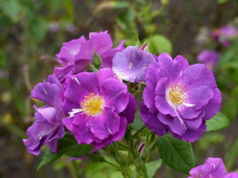 Бесплатно цветок, пурпурные розы - фото новые