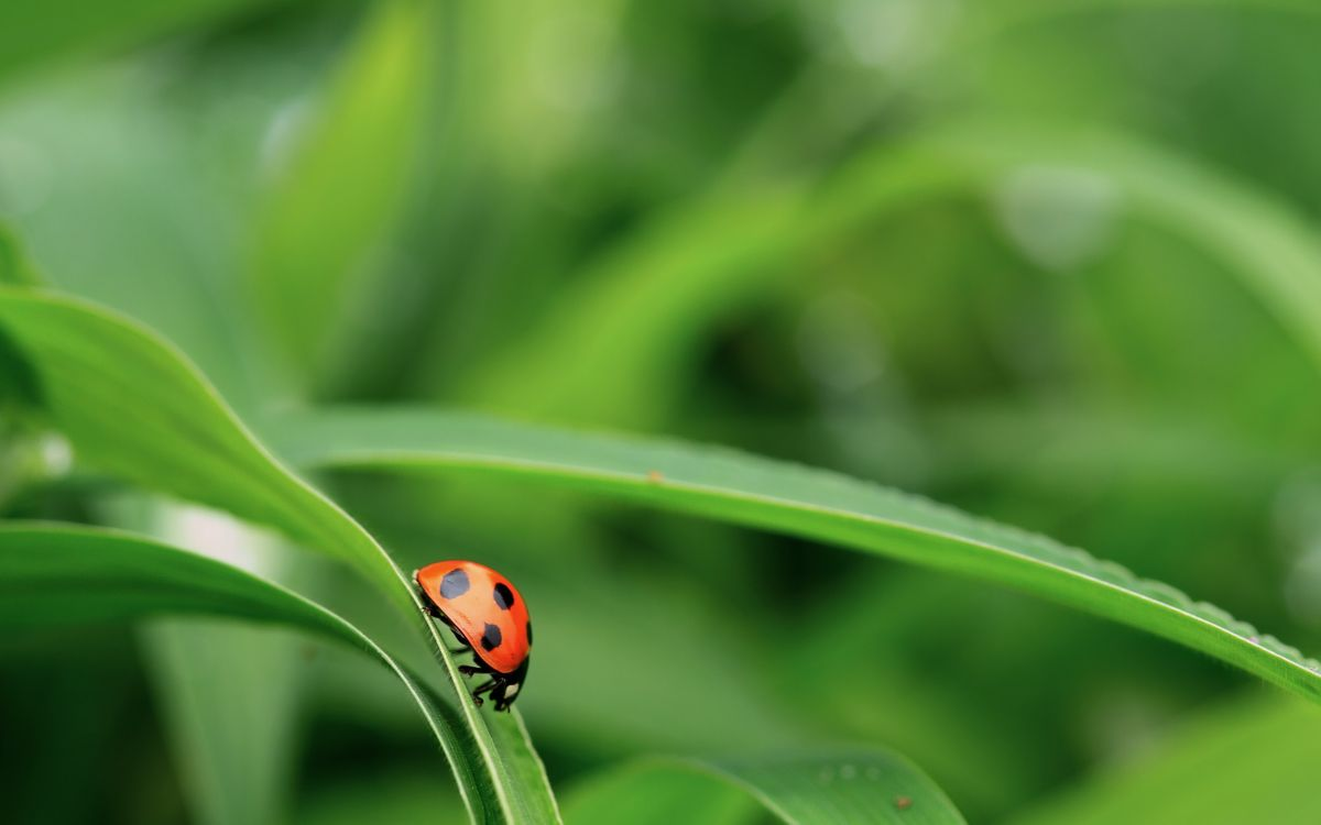 Free photo ladybug, macro, nature - to desktop