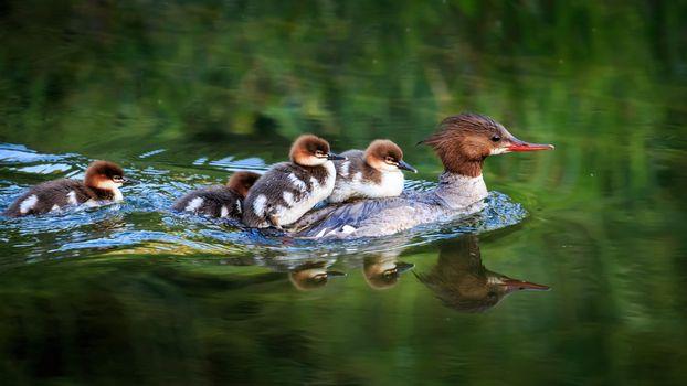 Photo free duck, common merganser, Common Merganse