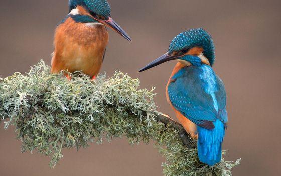 Фото бесплатно птица, мох, зимородок