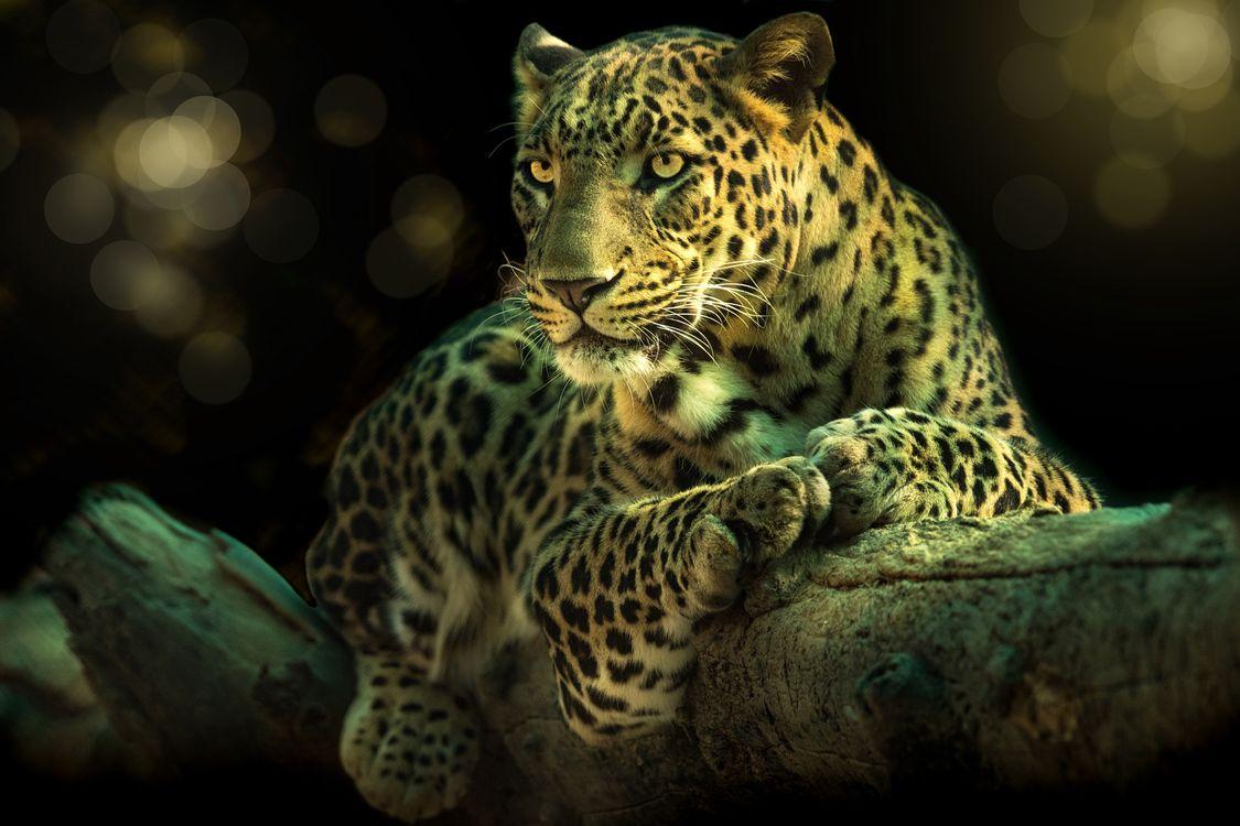 Леопард на ветке · бесплатное фото