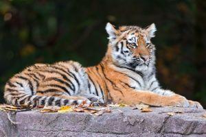 Фото бесплатно хищник, поза, тигровые тигры