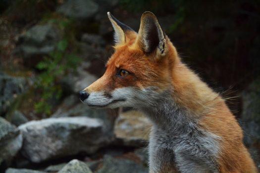 Фото бесплатно лиса, дикие, хищник