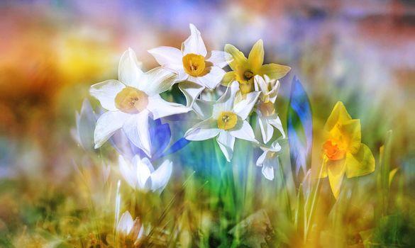 Бесплатные фото Нарциссы,цветы,весна,цветение,флора