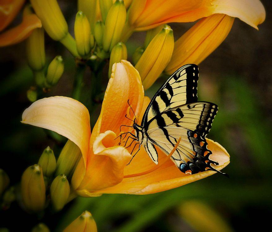 Фото бесплатно цветы, лилии, бабочка - на рабочий стол