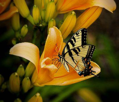 Заставки цветы, лилии, бабочка