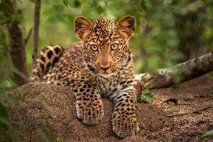 Котенок леопарда смотрит на оператора