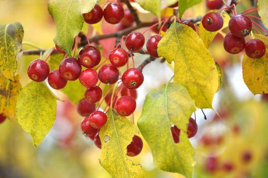 Фото бесплатно листья, плоды, ветки