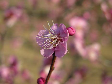 Заставки сливы цветок, розовый, бутоны