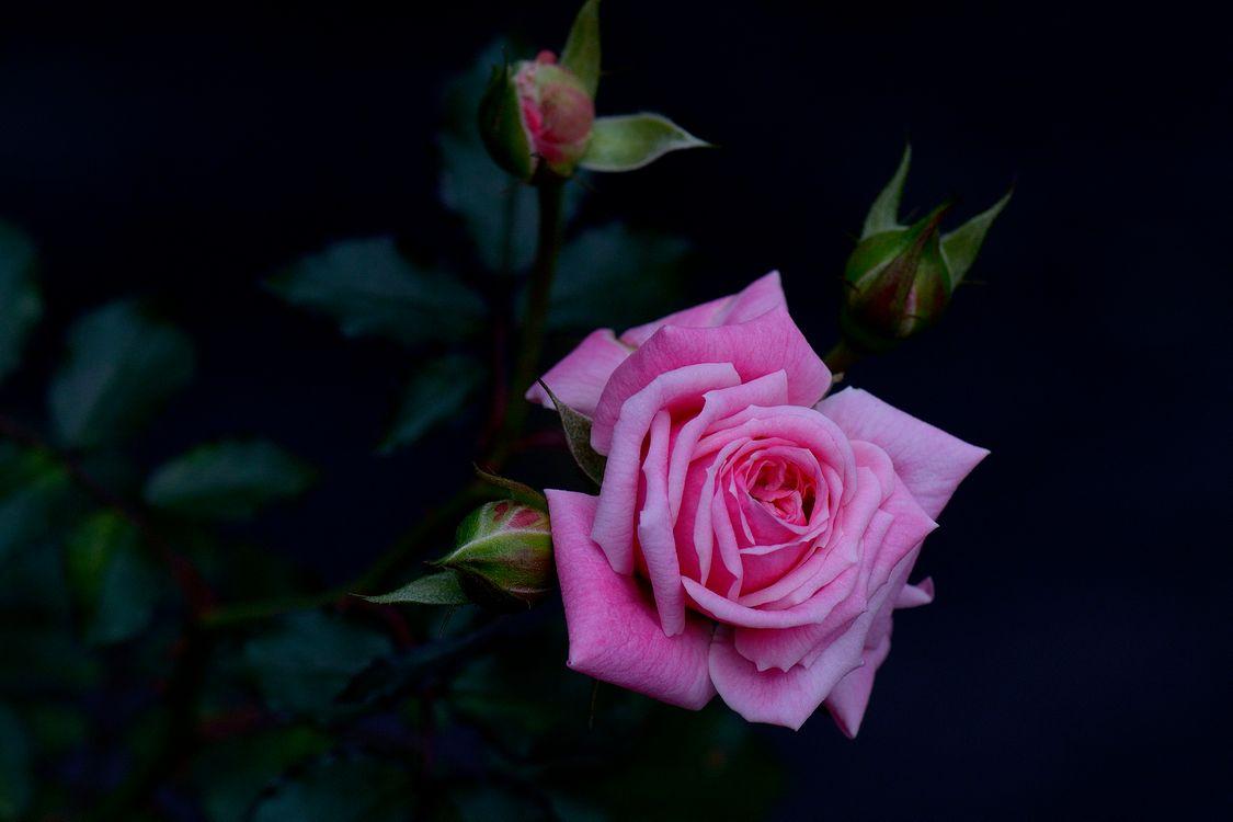 Розовая роза на темном фоне · бесплатное фото