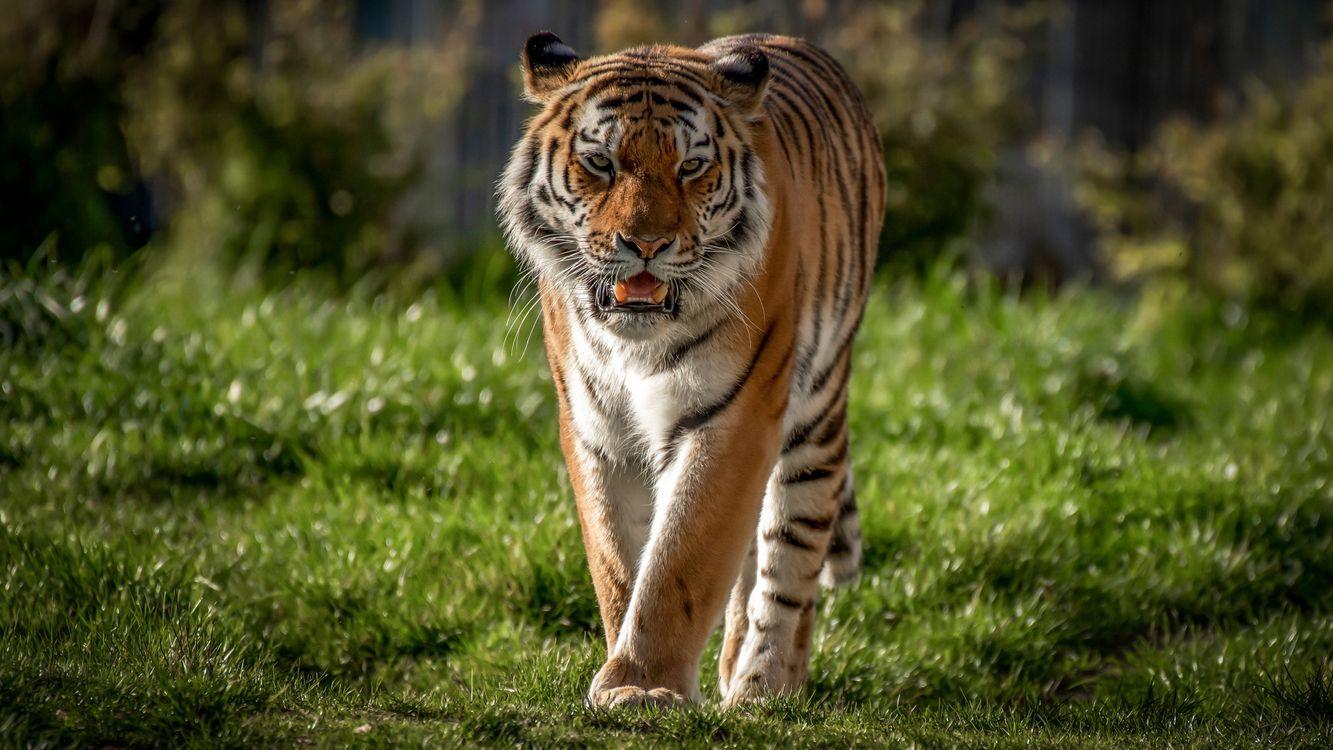 Обои тигр, ходьба, дикая природа картинки на телефон