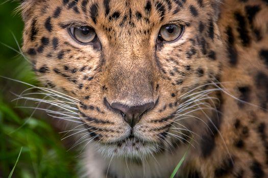 Глаза леопарда