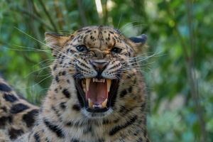 The fangs of a leopard