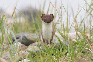 Фото бесплатно ласка, луг, weasel