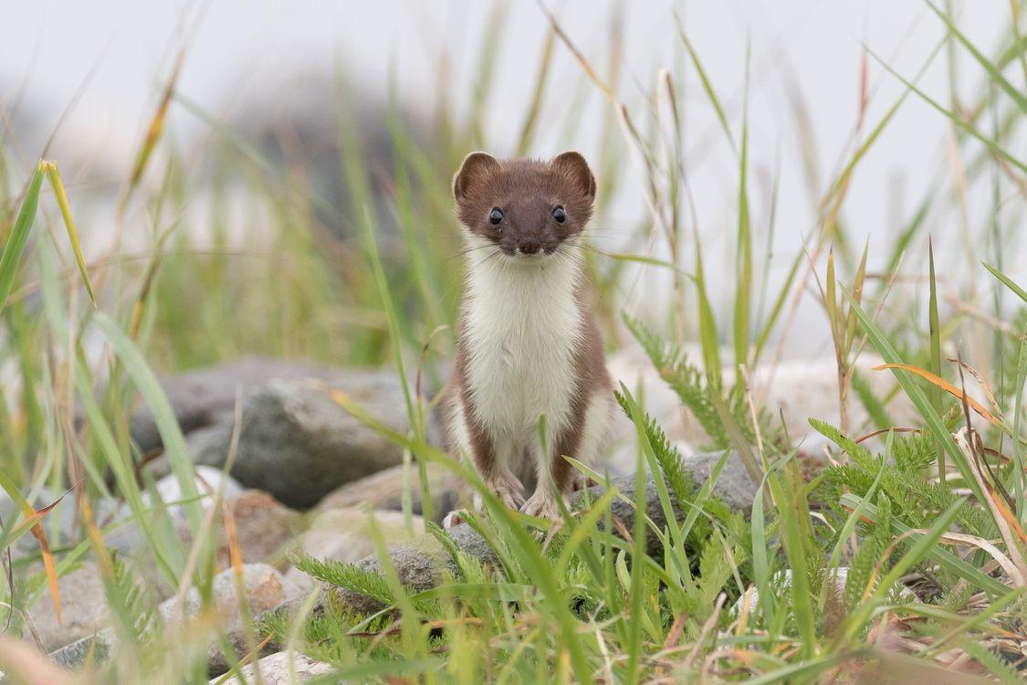 Фото бесплатно ласка, луг, weasel - на рабочий стол