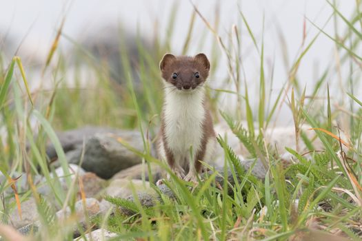 Заставки ласка, луг, weasel