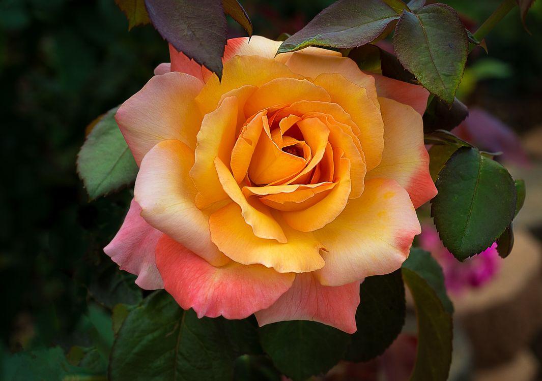 Оранжевая роза · бесплатное фото
