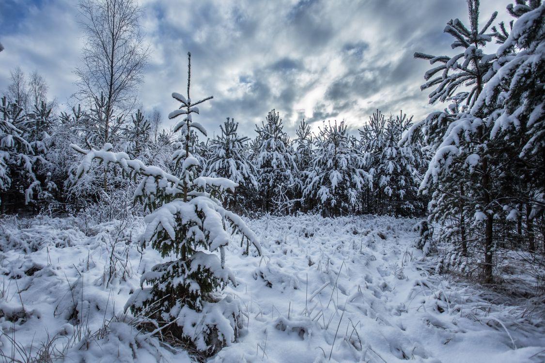Фото бесплатно деревья, зима, ель - на рабочий стол
