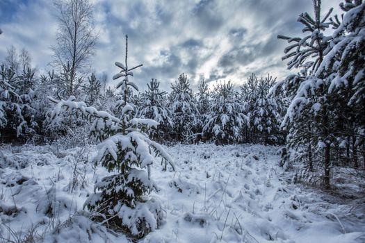 Photo free trees, winter, spruce