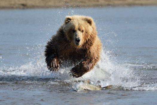 Фото бесплатно Grizzly, прыгать, спрей