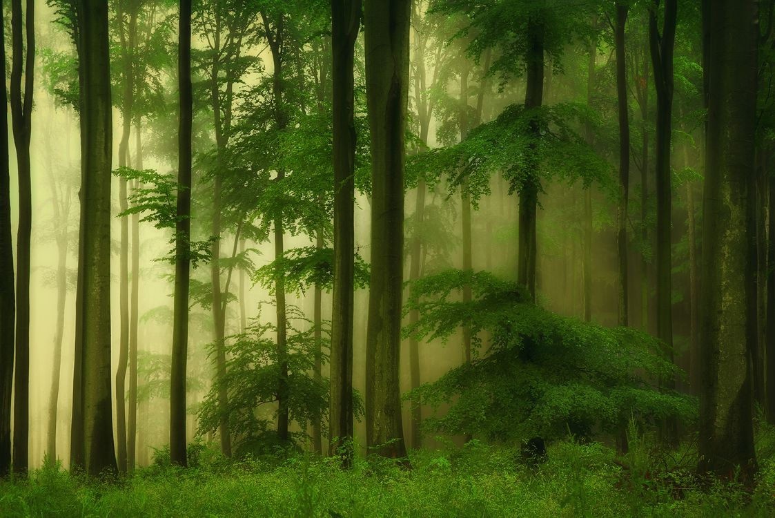 Фото бесплатно дремучий лес, деревья, туман - на рабочий стол