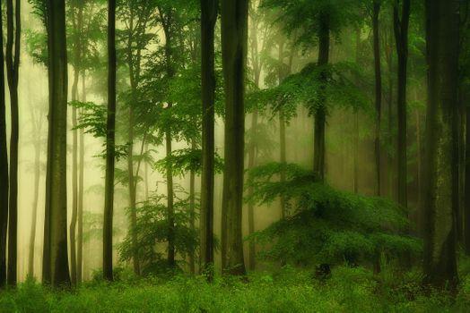 Фото бесплатно дремучий лес, деревья, туман