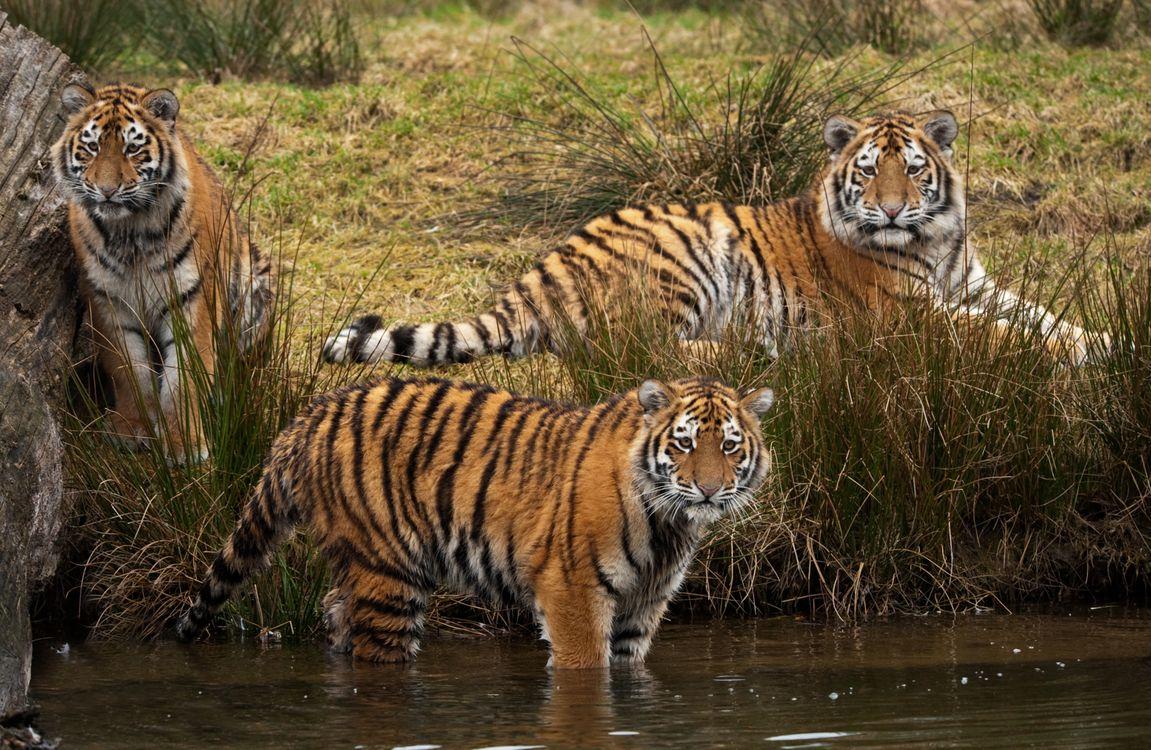 Фото бесплатно тигр, тигры, хищники - на рабочий стол