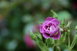 Распущенная роза крупным планом