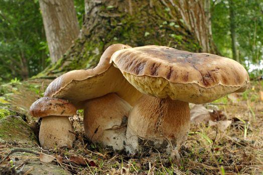 Бесплатные фото белый гриб,гриб,грибы,белые,природа