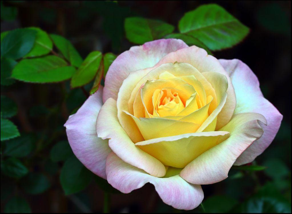 Фото бесплатно роза, цветок, флора - на рабочий стол