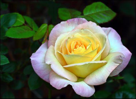 Обои на телефон роза, цветок