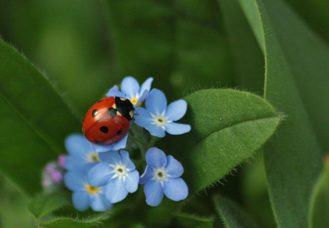 Фото бесплатно цветы, растение, божья коровка, макро, насекомое, зелёный, насекомые - скачать на рабочий стол