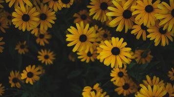 Кусты рудбекии · бесплатное фото