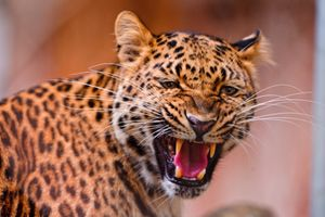 Заставки животное, леопард, лицо