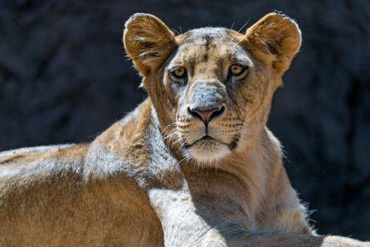 Фото бесплатно lioness, portrait, львица