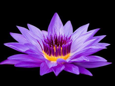 Цветок лилии крупным планом
