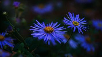 Цветок астра · бесплатное фото